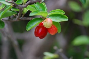 アセロラの赤い実