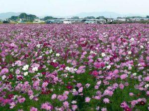 板倉町のコスモス畑