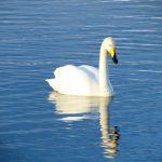 群馬で白鳥が観察できるスポットをご紹介。冬限定なのでお早めに!