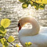 群馬の白鳥飛来地の1つ鏑川へ行ってきた。でも鳥インフルには要注意!