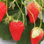 1月5日は「苺の日」旬の果物を食べて元気になろう~苺の豆知識1