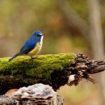 世界仰天ニュースで話題になった「幸せを呼ぶ青い鳥チョコレート」