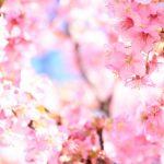 河津桜まつり開催中。ところで河津桜ってソメイヨシノとどう違うの?