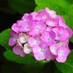 紫陽花を使ったおまじないは、金運アップや婦人科系の病気に効果あり!