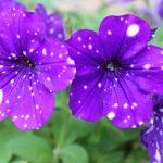 庭に植えたペチュニアが国内未承認の遺伝子組換え体だった件
